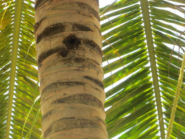 Las ranuras o muescas naturales del tronco es por donde aseguran el ascenso