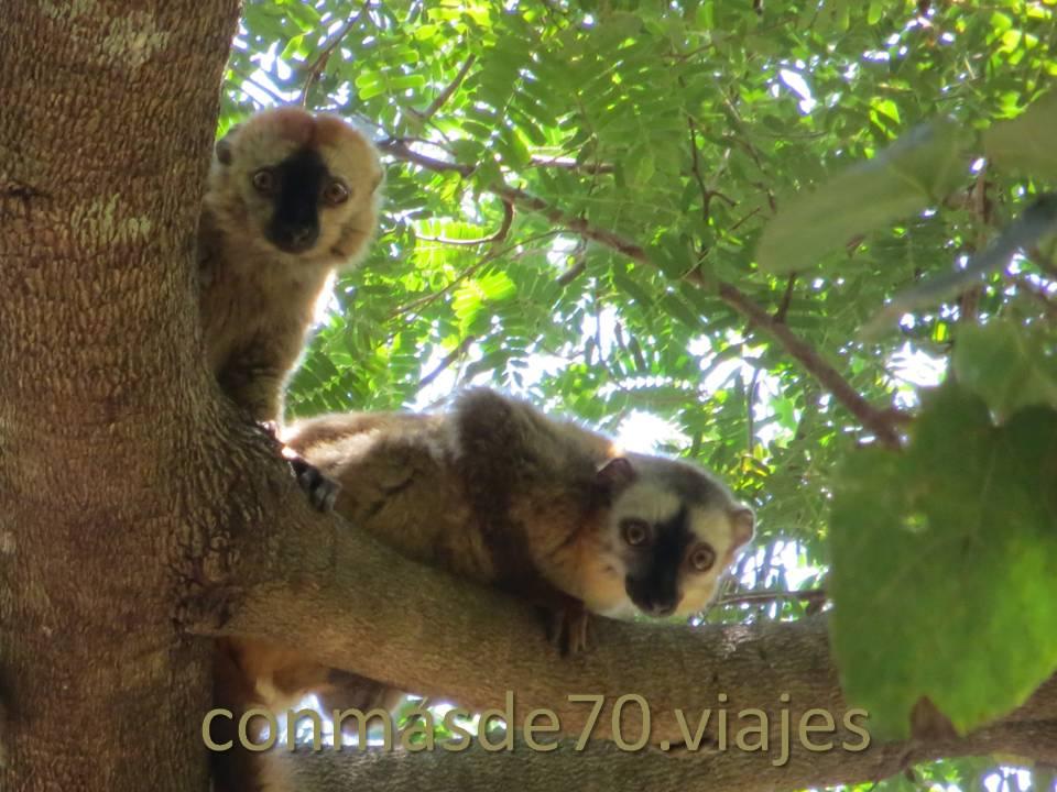 Una familia de lémures, que nos miran extrañadísimos!