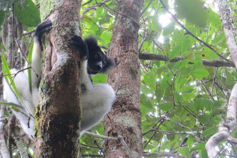 """Madagascar/""""Indri-Indri"""", el lémur más grande"""